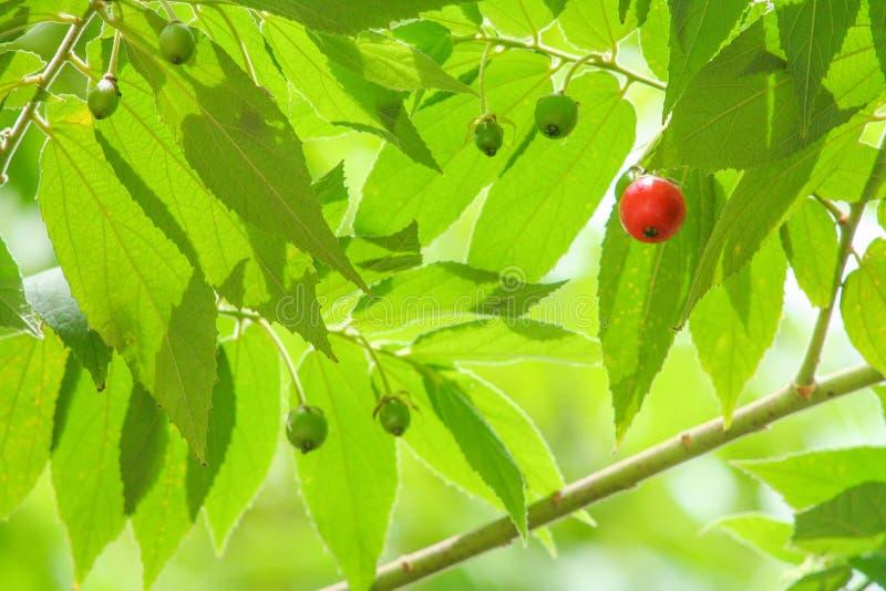 大风子科垂悬在树的rukam果子,新成熟红色可以被吃 免版税库存照片