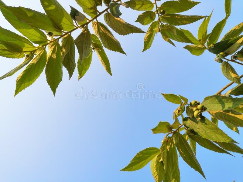 大风子科rukam树和天空蔚蓝 免版税库存照片