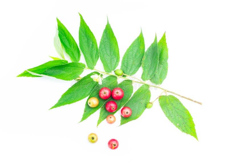 大风子科rukam,在白色背景隔绝的牙买加樱桃 免版税库存图片