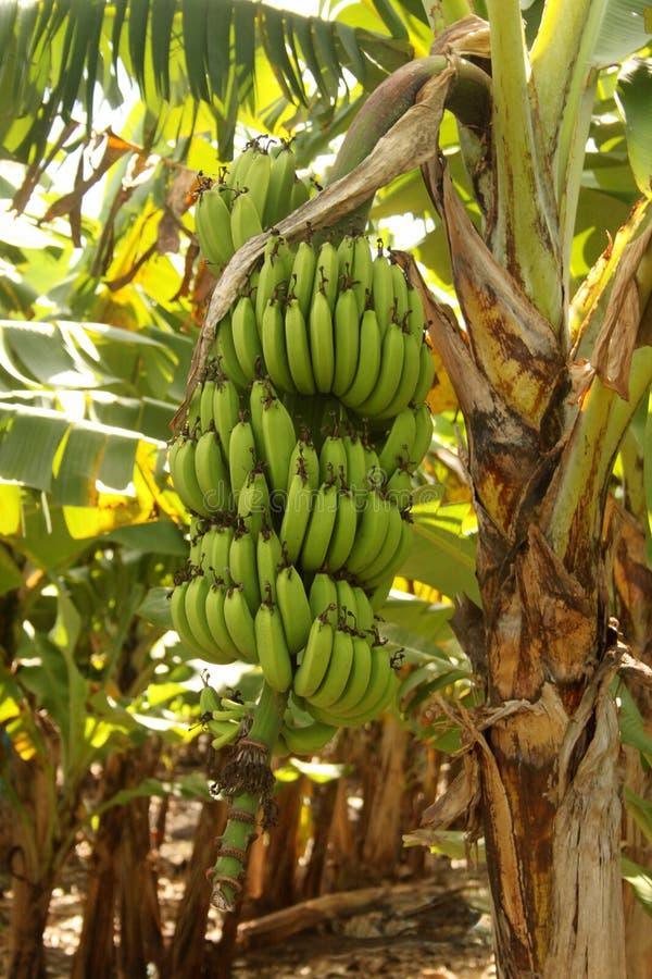 大香蕉束特写镜头 库存照片