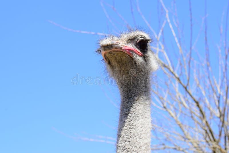 大驼鸟,有巨大的额嘴的枪口,特写镜头 在囚禁的野兽在封入物 有鸟的室外公园 免版税图库摄影