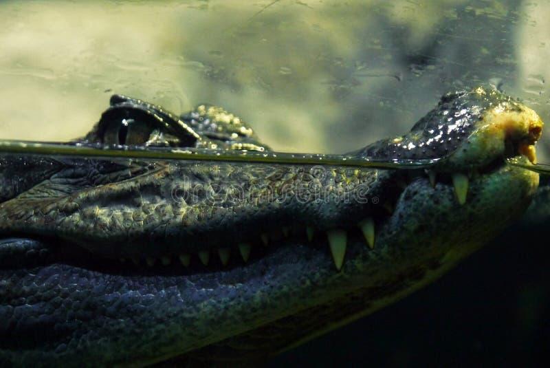 大鳄鱼 免版税库存图片