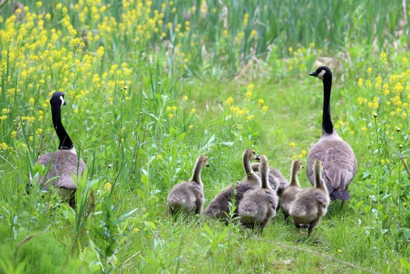 大鹅家庭漫步 库存照片