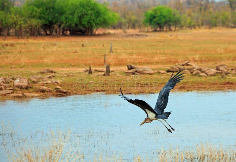 大鹳鹳在飞行中与翼被延伸在一个湖在万基国立公园,津巴布韦 免版税库存图片