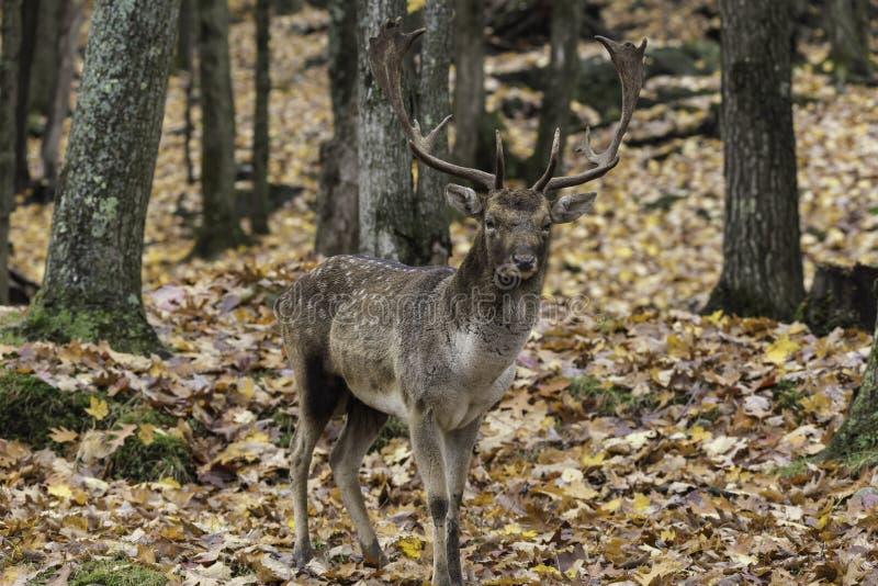 大鹿在森林 免版税库存照片