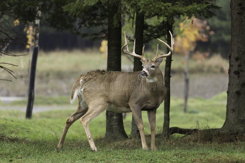 大鹿在森林 库存图片