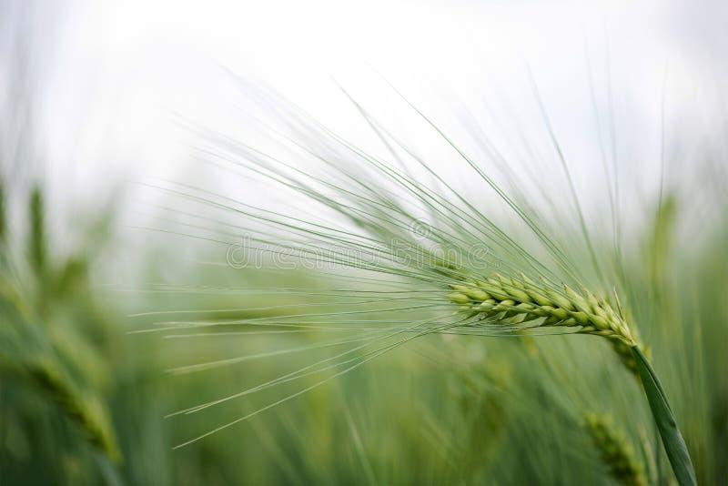 大麦五谷为面粉、大麦面包、大麦啤酒、一些威士忌酒,一些伏特加酒和动物饲料使用 免版税库存图片