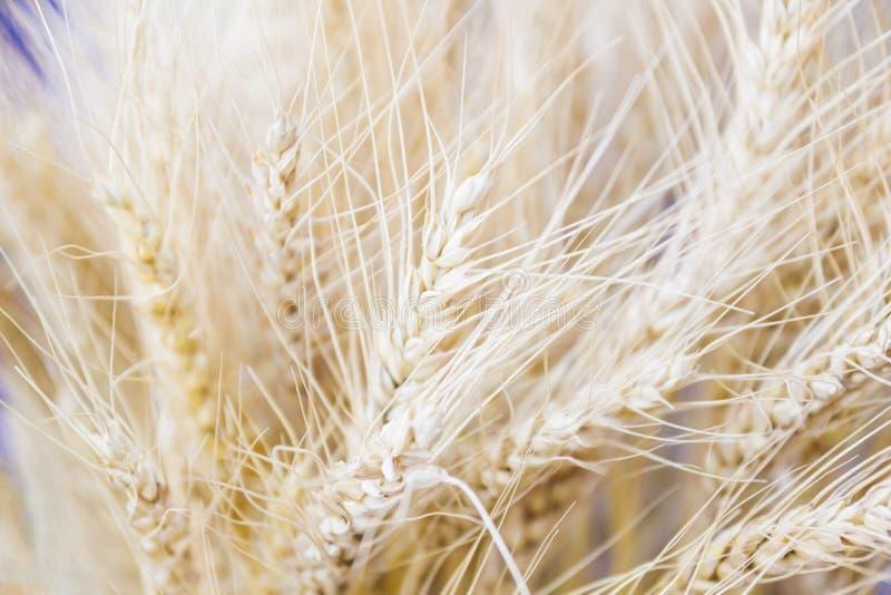 大麦五谷特写镜头为面粉大麦面包大麦啤酒使用一些威士忌酒一些伏特加酒和动物饲料 免版税库存照片