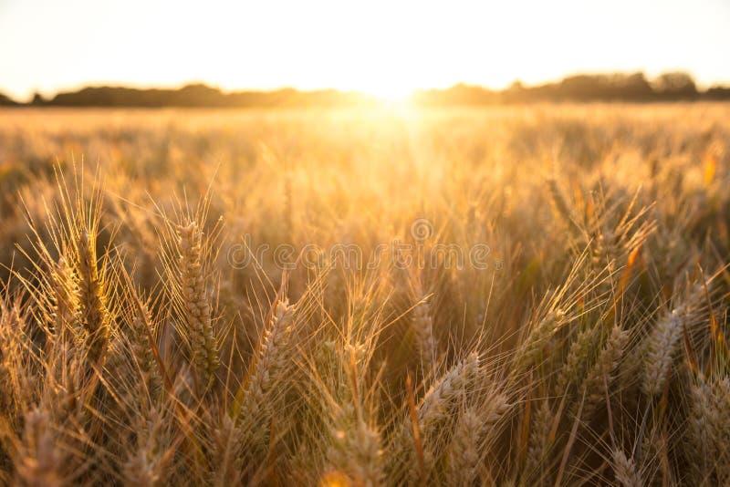 大麦在金黄光的农田 库存照片