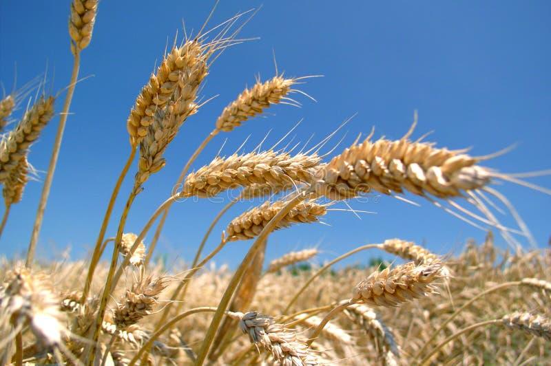 大麦域金黄成熟