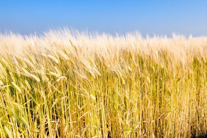 大麦域 免版税图库摄影