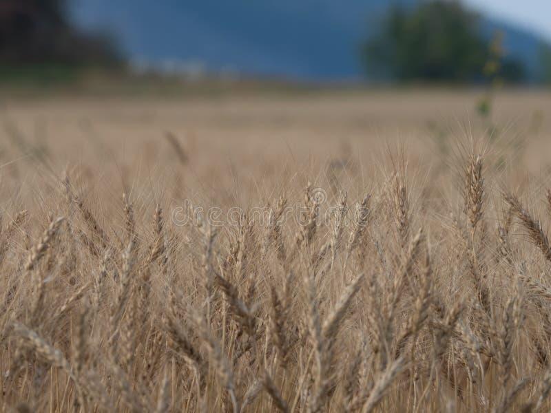 大麦庄稼 库存图片
