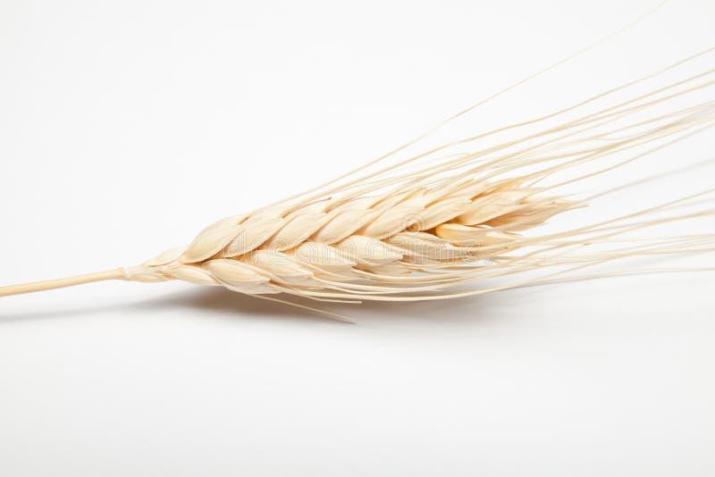 大麦的耳朵() 库存照片