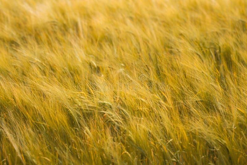 大麦的金黄领域在风的 库存照片
