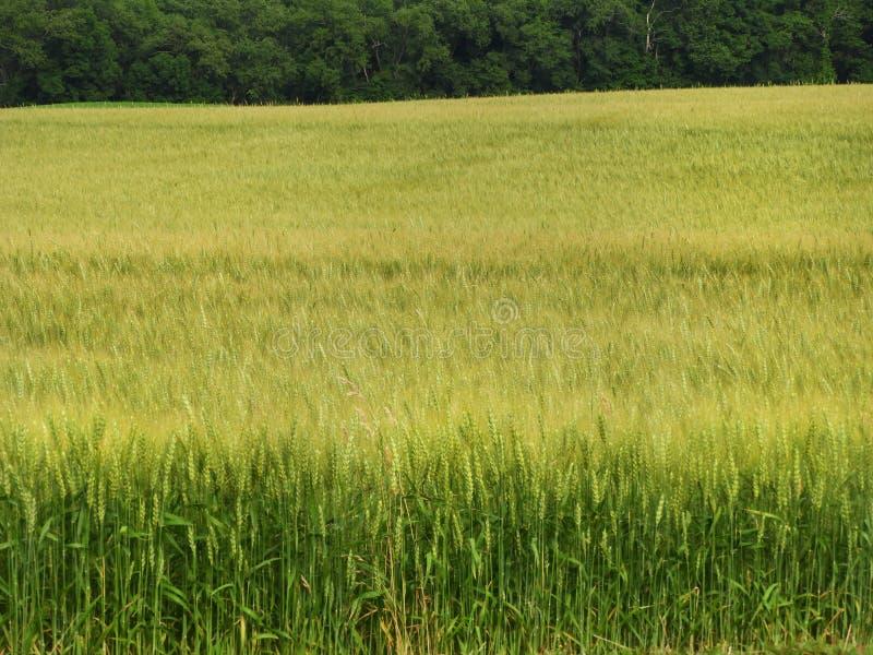 大麦的领域家畜饲料或工艺啤酒产业的 库存图片