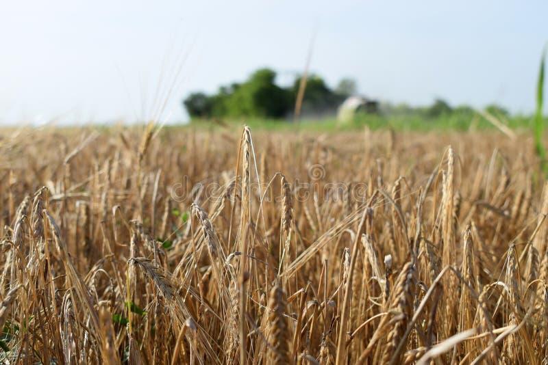 大麦的领域,关闭 库存图片
