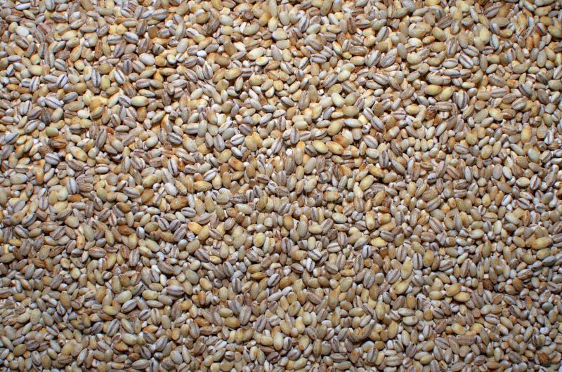 大麦米种子 库存图片