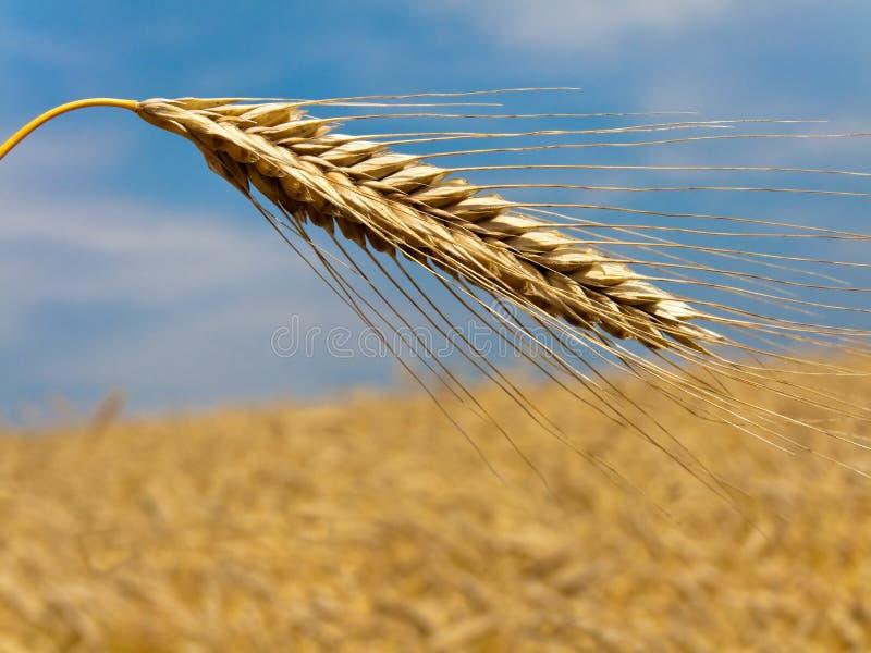大麦粒域峰值 库存照片
