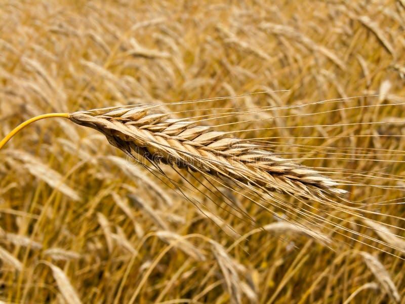 大麦粒域峰值 免版税图库摄影