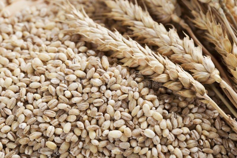 大麦谷物和茎 库存照片