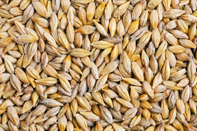 大麦谷物大麦属 库存图片