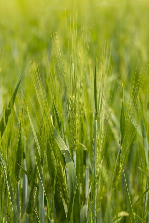 大麦钉在麦田垂直的 黑麦在农田的麦子大麦的绿色明亮的成熟耳朵,冬天谷物 钉牢与 库存图片