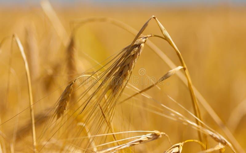大麦钉 免版税库存图片