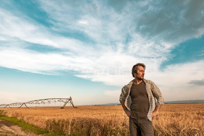 大麦领域的担心的农夫在一个大风天 库存图片