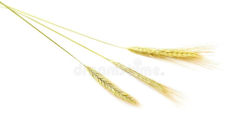 大麦麦子 免版税库存图片
