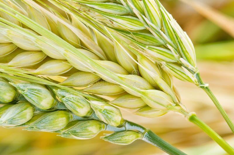 大麦黑麦麦子 免版税库存图片
