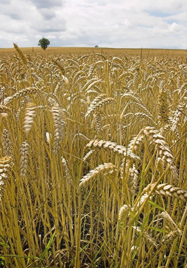 Download 大麦 库存照片. 图片 包括有 封入物, 眼镜, cropland, 尖酸, 种子, 农田, 地形, 庄稼, 农场 - 190706
