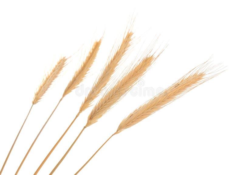 大麦 免版税库存照片