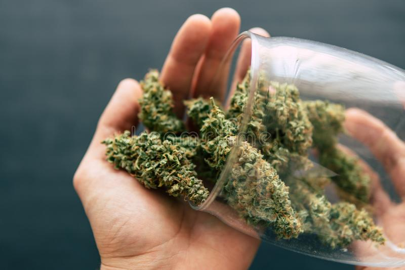 大麻发芽大麻杂草手中人宏指令与trichomes的和被击碎的杂草和滚动的jo 免版税库存照片