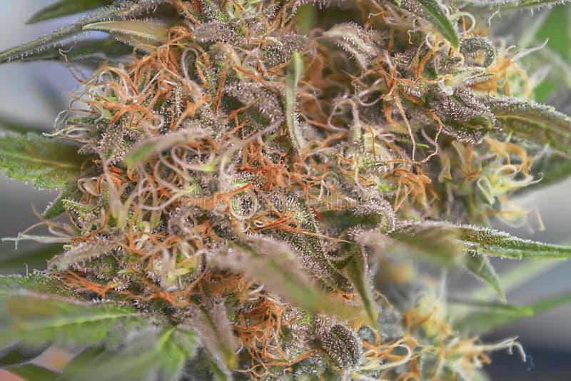 大麻可乐关闭 图库摄影