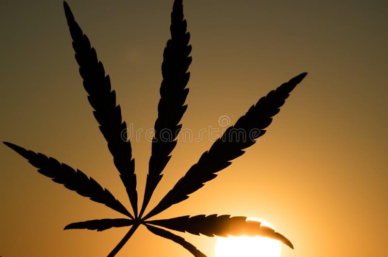 大麻叶子的剪影在落日的背景的 图库摄影