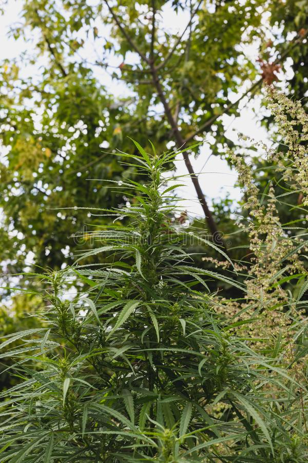 大麻和大麻分支  Ganja,大麻美丽的树 免版税库存照片