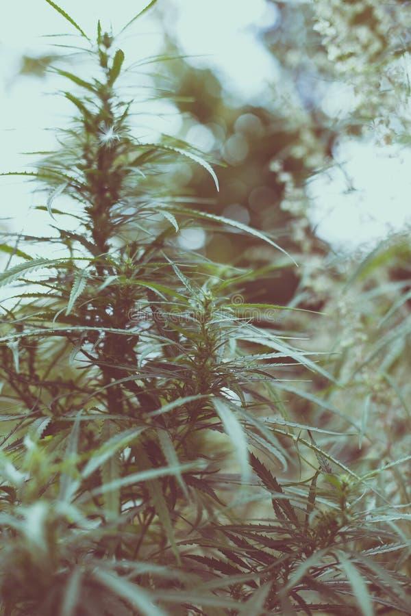 大麻和大麻分支  Ganja,大麻美丽的树 免版税图库摄影