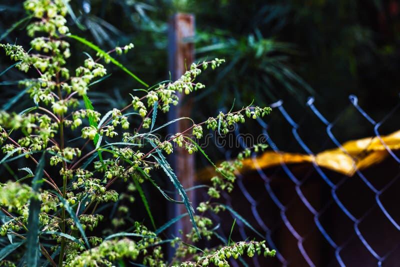 大麻和大麻分支  Ganja,大麻美丽的树 库存图片