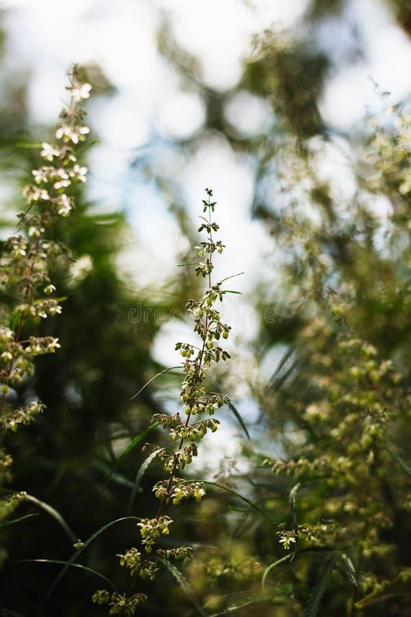 大麻和大麻分支  Ganja,大麻美丽的树 图库摄影