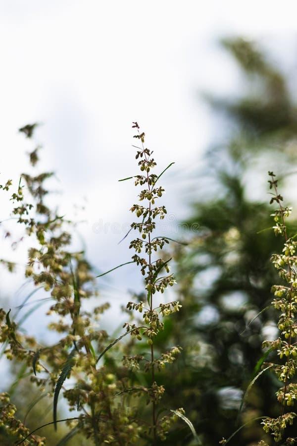 大麻和大麻分支  Ganja,大麻美丽的树 库存照片