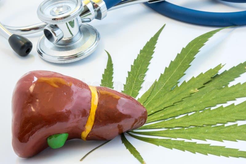 大麻和肝脏有胆囊的 大麻和hepar 影响抽烟的大麻正面和阴性在人的肝脏的,h 免版税库存图片