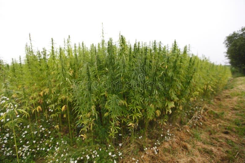 大麻域 库存图片