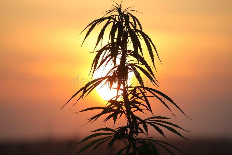 大麻工厂日落 库存图片