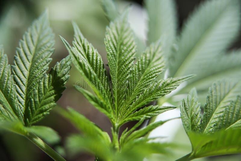 大麻年轻叶子  库存照片