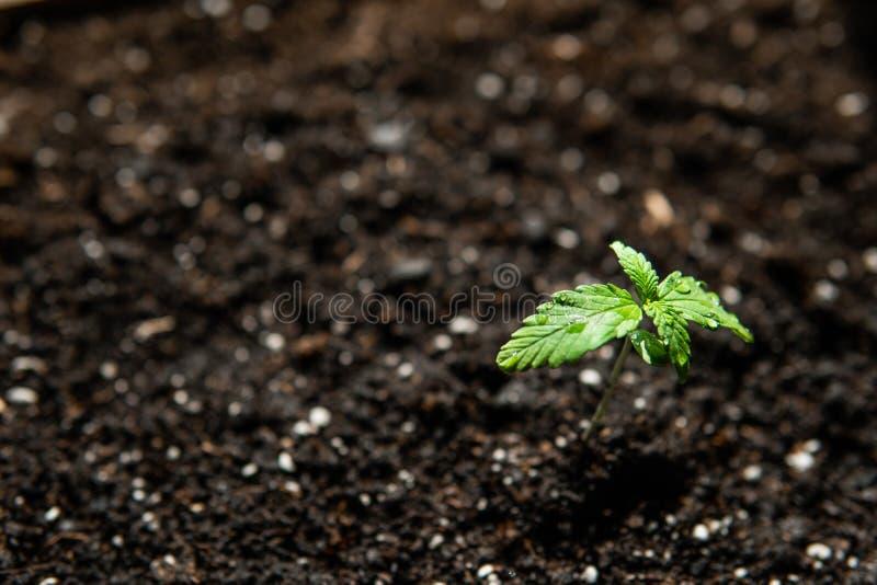 大麻幼木,小植物 在室内大麻,植被大麻阶段的耕种  免版税库存图片