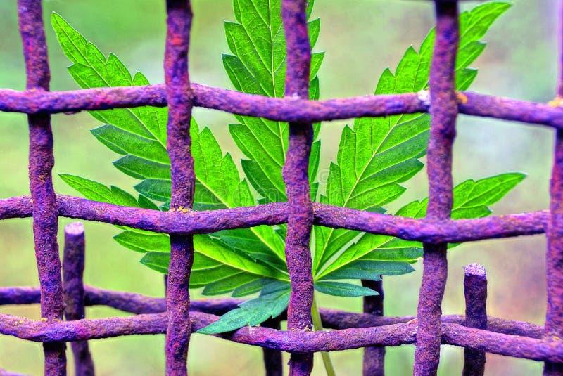 大麻植物的绿色叶子在生锈的铁栅格的 库存图片