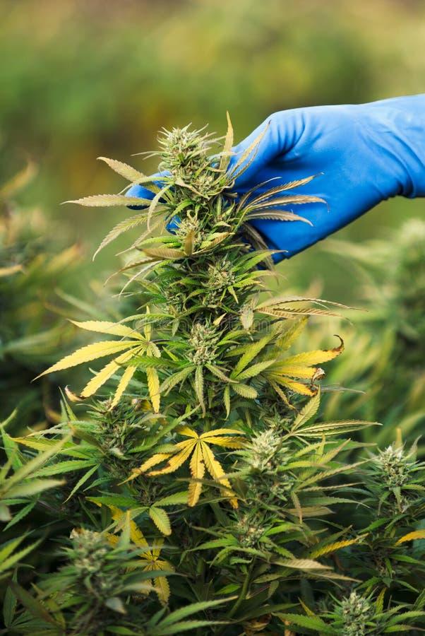 大麻耕种在美国 库存照片
