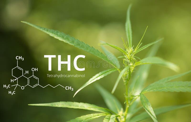 大麻背景的四氢大麻酚或THC分子式 免版税图库摄影