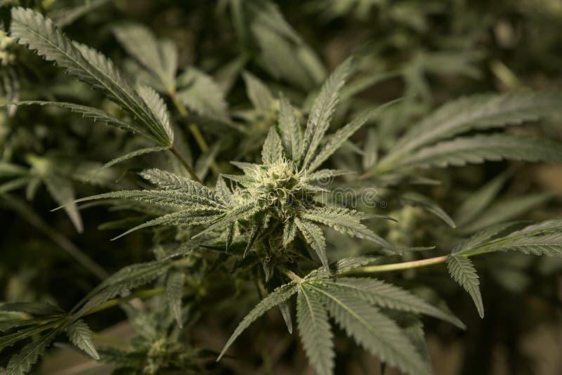 大麻花顶视图  免版税库存照片