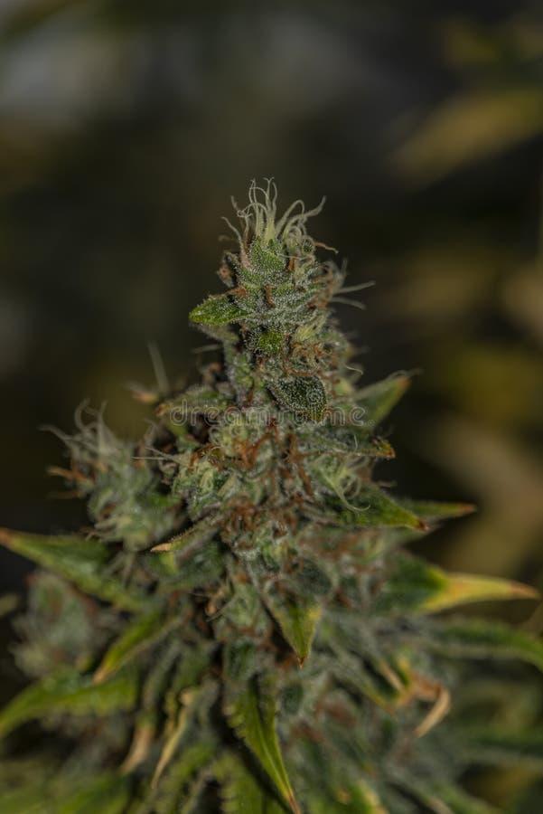 大麻花颜色阿富汗kush特别品种在收获前变老了绽放 免版税库存照片